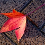 fallen-autumn-fall-leaf